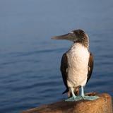 Piquero blått tafsar fågeln arkivfoton