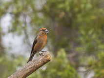 Piquituerto común (Loxia curvirostra). The crossbill has one of the most surprising and specialized beaks of all European birds; It is a robust tool and Royalty Free Stock Photo