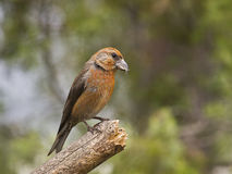 Piquituerto común (Loxia curvirostra). The crossbill has one of the most surprising and specialized beaks of all European birds; It is a robust tool and Stock Image