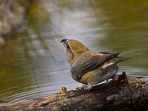 Piquituerto común (Loxia curvirostra). The crossbill has one of the most surprising and specialized beaks of all European birds; It is a robust tool and Stock Photos
