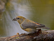 Piquituerto común (Loxia curvirostra). The crossbill has one of the most surprising and specialized beaks of all European birds; It is a robust tool and Royalty Free Stock Images