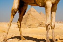 Pirámides enmarcadas a través de las piernas del camello Fotografía de archivo