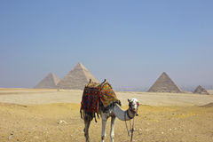 Pirâmides de Giza com camelo egípcio Imagem de Stock