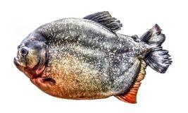 Piraña de los pescados aislada en el fondo blanco imagenes de archivo