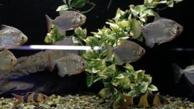 Pirañas en el acuario almacen de video
