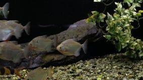 Pirañas en el acuario metrajes