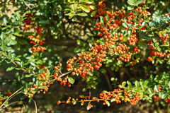 Pirakanta bright red lat. Pyracantha coccinea Roem Royalty Free Stock Images