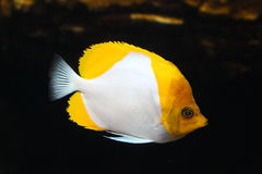 Pyramid butterflyfish Royalty Free Stock Image