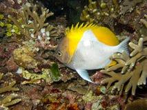 Piramide Butterflyfish royalty-vrije stock afbeelding