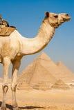 Piramidi mezze del cammello tutta la riga Immagine Stock