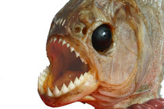 Piranah 2 Royalty Free Stock Photo