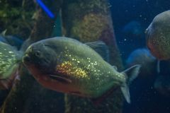 Piranha στα βαθιά νερά στοκ φωτογραφία