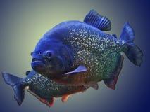 Piranha στο ενυδρείο στο Phoenix, Αριζόνα στοκ εικόνες