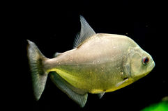 Piranha στο ενυδρείο Στοκ Εικόνες