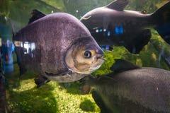 Piranha στο aqarium Στοκ Φωτογραφία