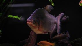 Piranha в садке для рыбы видеоматериал