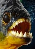 piranha κινηματογραφήσεων σε π& Στοκ Εικόνες