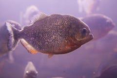 Piranha. Predatory fish piranha swimming in a pack Stock Images