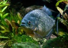 Piranha. South american fish piranha swimming Royalty Free Stock Photos