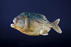 Piranha. Stuffed piranha fish, side view Royalty Free Stock Images