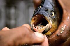 Piranha stock photos