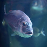 Piranha. Beautiful piranha swimming in blue sea Stock Image