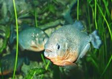 piranha Arkivfoton