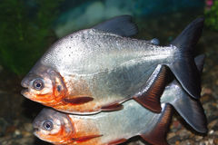 Piranha Royalty Free Stock Photography