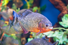 Piranha. Swimming in the aquarium Royalty Free Stock Photo