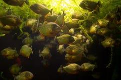 Piranha royalty free stock photos