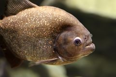 Piranha Stock Images