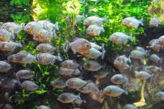 Piranha. Fish in the water Stock Images