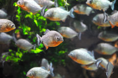 Piranha. Fish in the water Royalty Free Stock Photo