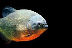 Piranha. One piranha isolated black background Royalty Free Stock Image