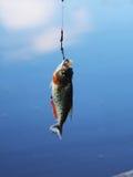 Piranha. Cought in Amazon river Stock Photos