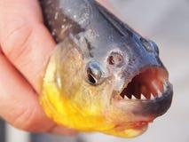 Piranha. Cought in North Pantanal, Brasil Royalty Free Stock Image