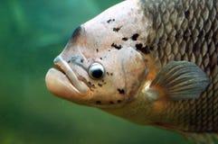 piranha Image stock