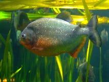 Piranha. Scary piranha predator fish in shallow water Stock Image