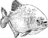 Piranha Obraz Stock