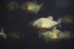 Piranha Стоковые Фотографии RF