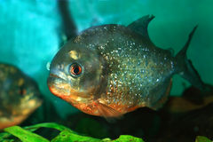 Piranha Foto de Stock Royalty Free