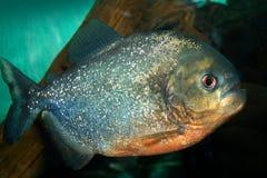 Free Piranha Stock Photos - 3814403