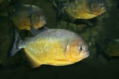 Piranha Fotos de Stock Royalty Free