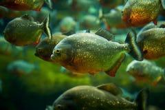 piranha Stockfoto