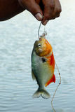 Piranha Στοκ Εικόνες
