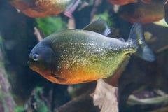Piranha Стоковое Фото