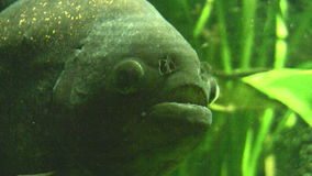 piranha archivi video