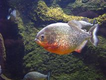 piranha Royaltyfria Bilder