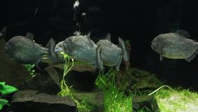 piranha stock video footage