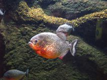 Piranha Royalty Free Stock Photos